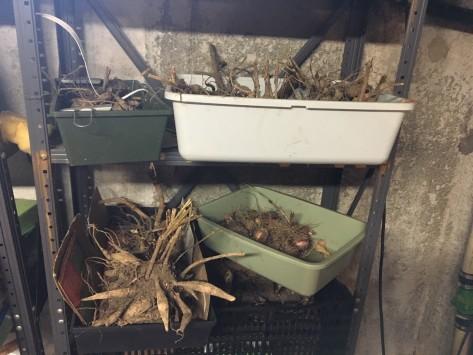 dahlia storage